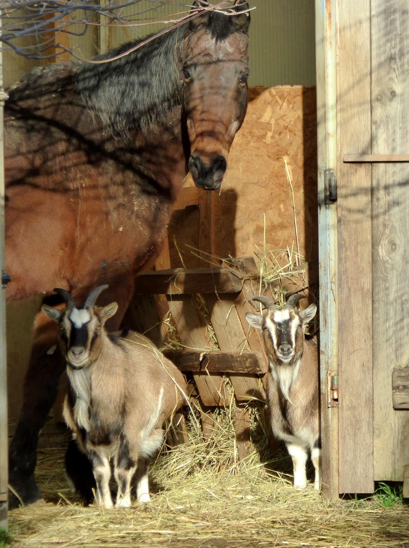 Cheval et chèvres