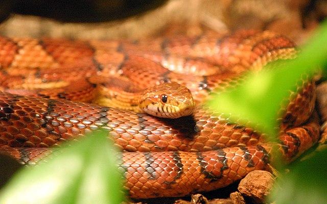 serpent des blés