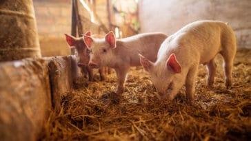 cochon élevage