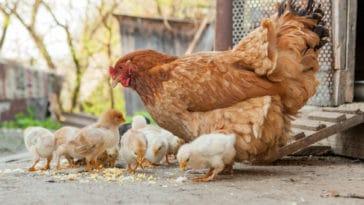 ferme animaux poule poussins poulailler