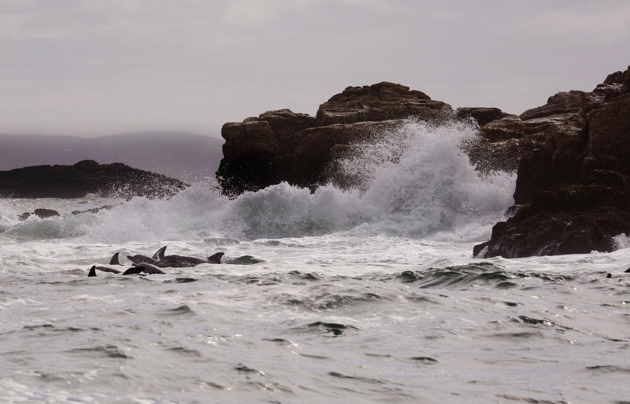 grand dauphin Afrique du Sud