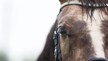 cheval blessure