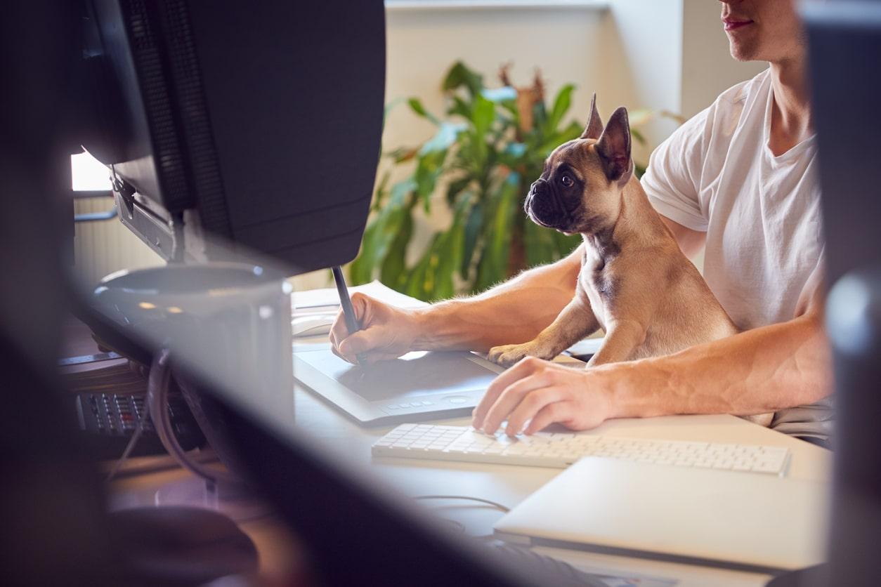 chien bulldog travail bureau