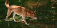 chien chanteur Nouvelle Guinée