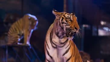 tigre fauve cirque
