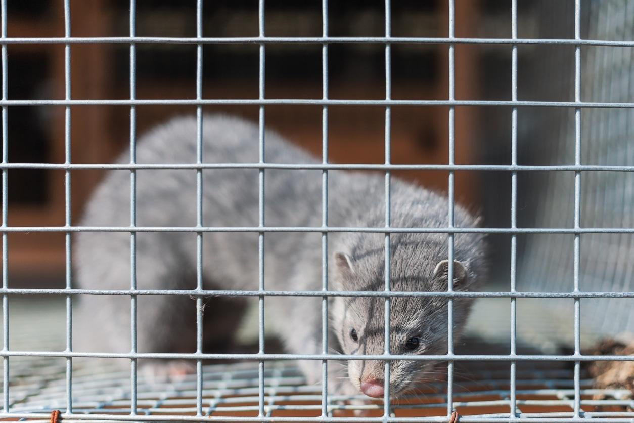 vison cage fourrure