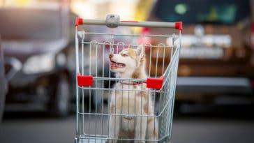 chiot husky adoption