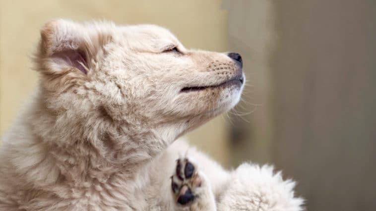 chien blanc qui se gratte