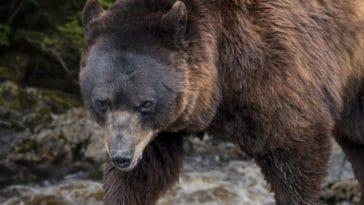 ours brun europe pyrénées
