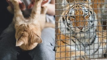 chat tigre spécisme