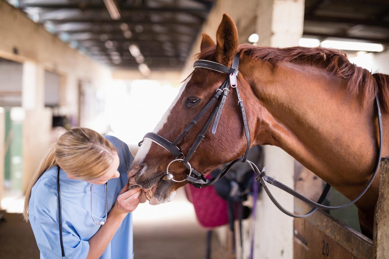 cheval qui se fait ausculter par une vétérinaire