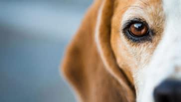 gros plan sur l'oeil d'un beagle