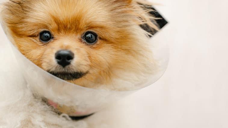 chien Poméranie collerette cône vétérinaire