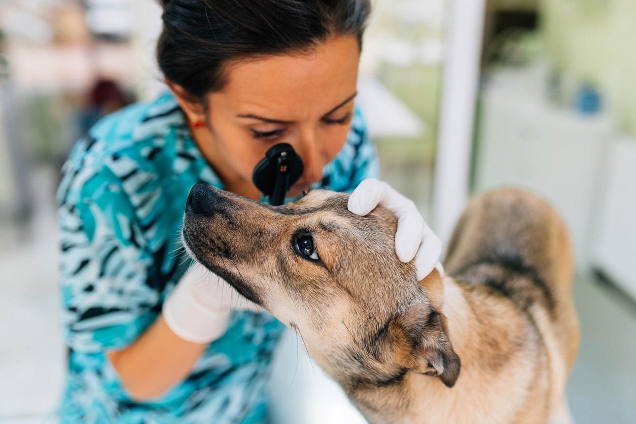 vétérinaire en train d'ausculter l'oeil d'un chien