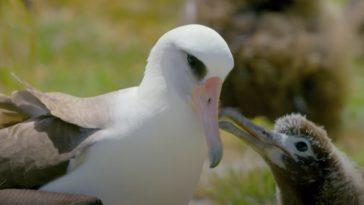 albatros laysan Wisdomalbatros laysan Wisdom