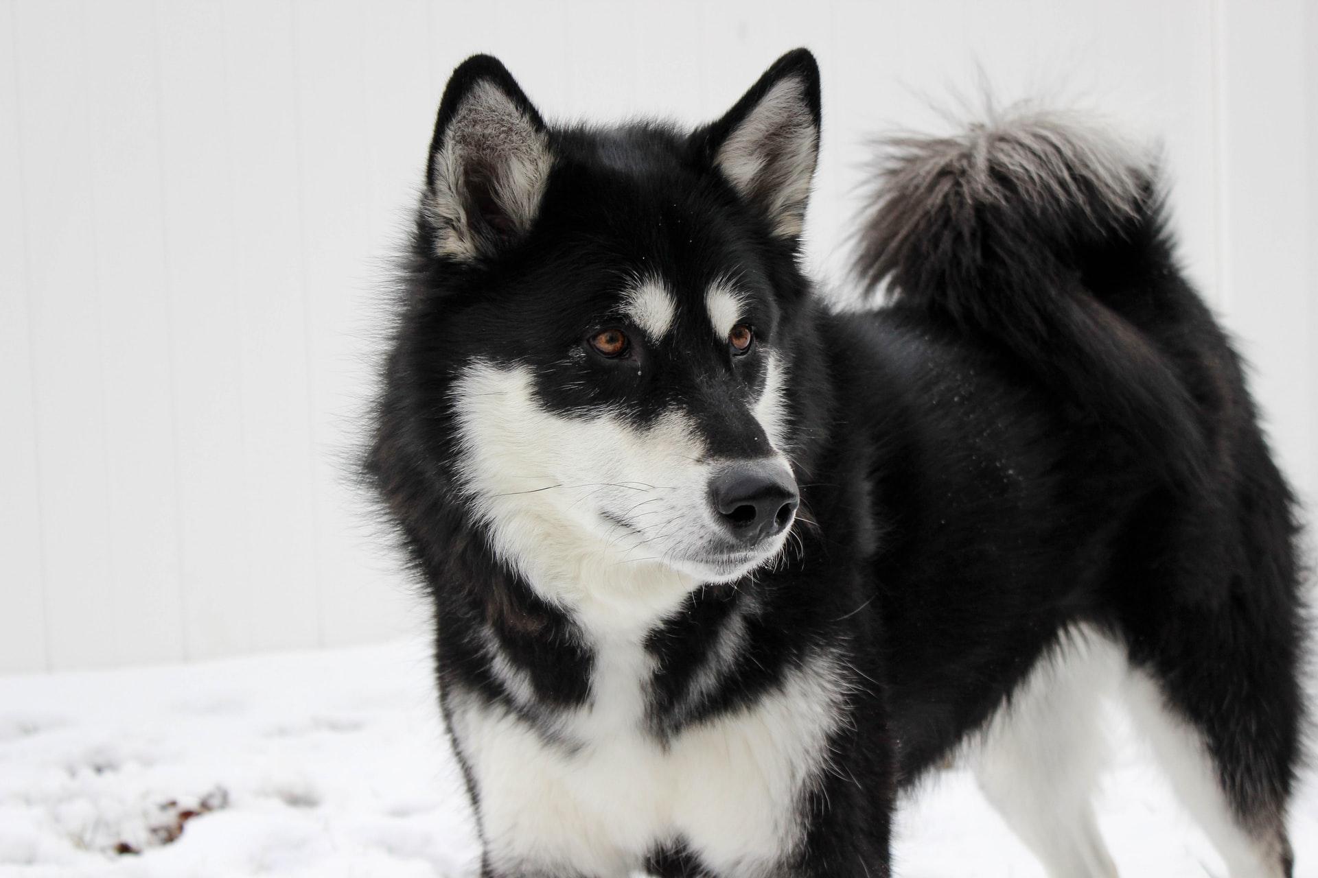 chien malamute d'Alaska