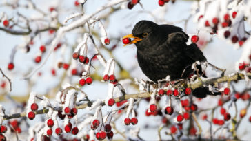 merle noir oiseau