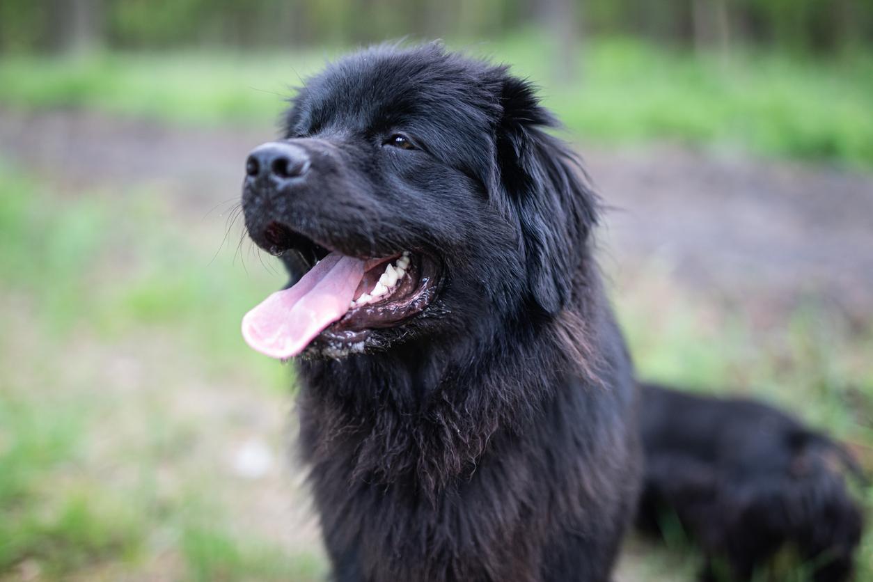 portrait d'un chien Terre-Neuve