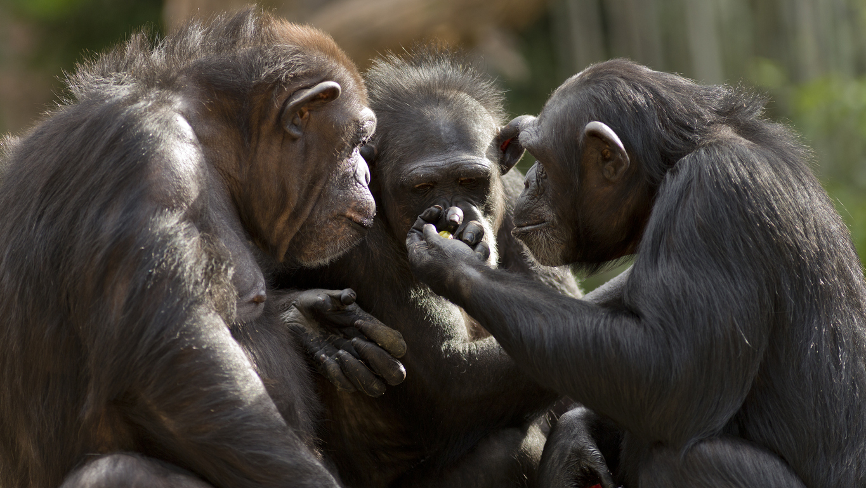 groupe de chimpanzés assis