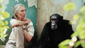 Jane Goodall et chimpanzé