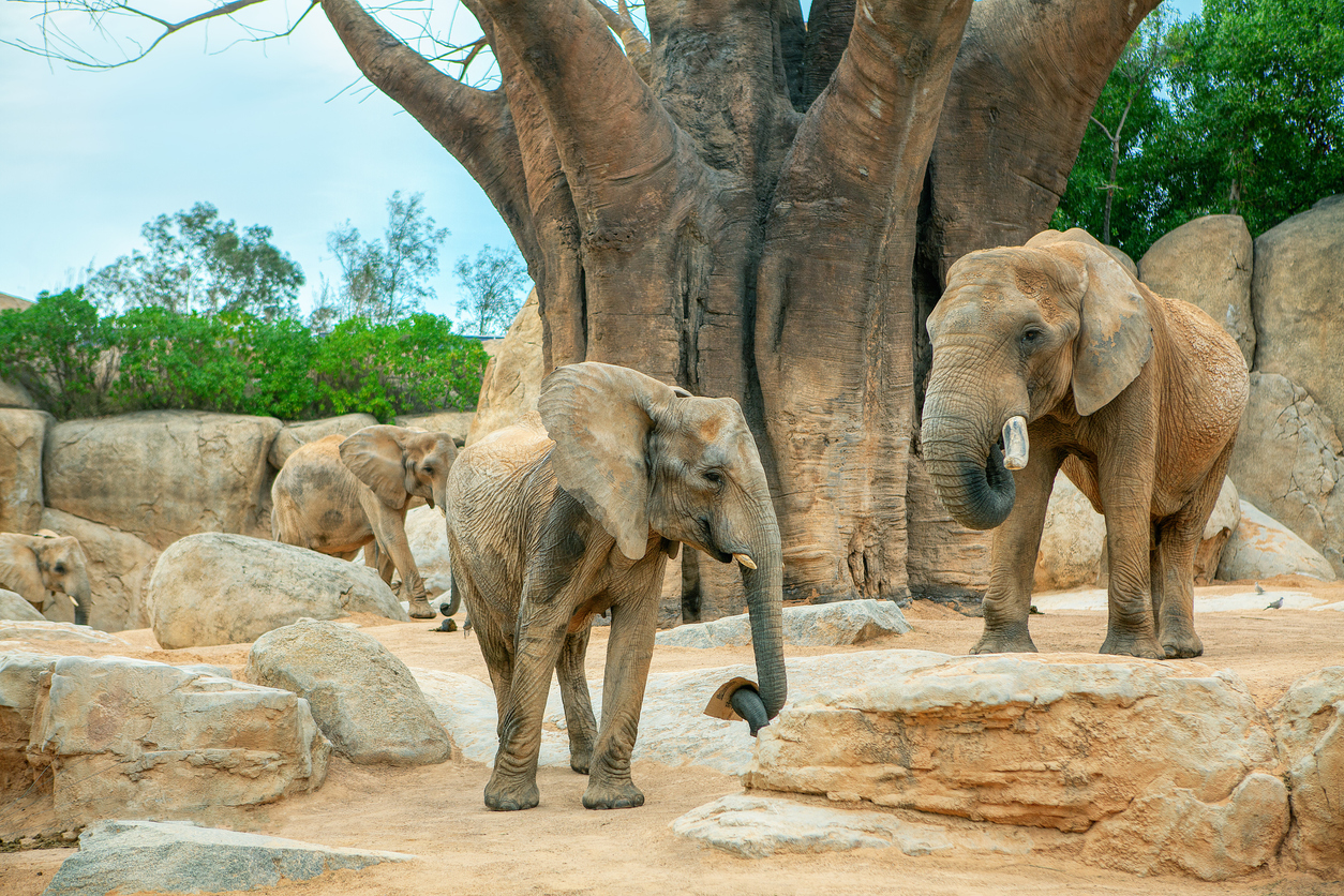trois éléphants d'Afrique dans un zoo