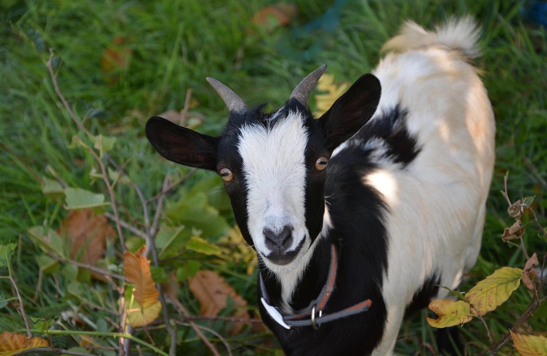 chèvre naine noire blanche