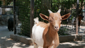 chèvre naine rousse