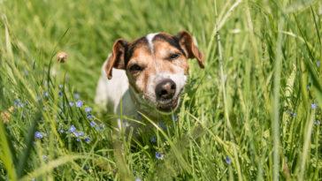 chien Jack Russell mange herbe
