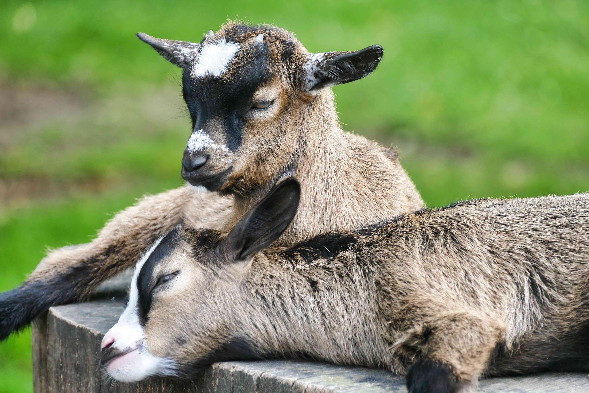 deux chèvres naines