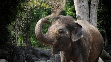 éléphant qui se couvre de sable