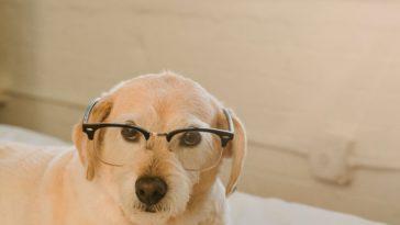 histoire animaux chien lunettes