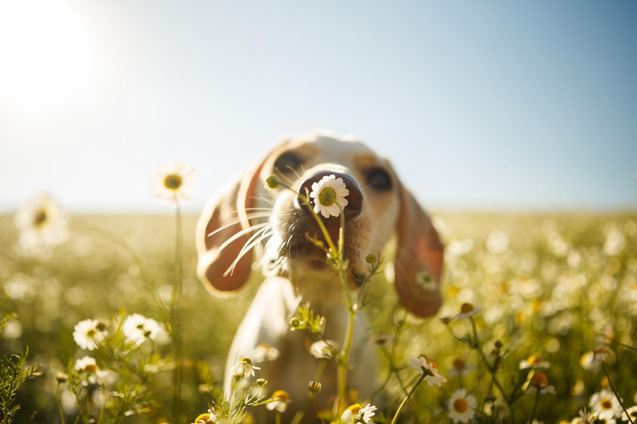 chien qui renifle une fleur