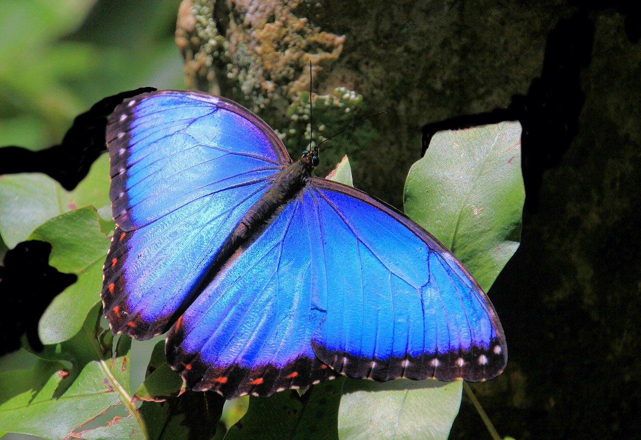 papillon morphologie bleu