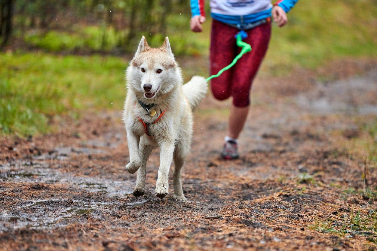 canicross chien course laisse