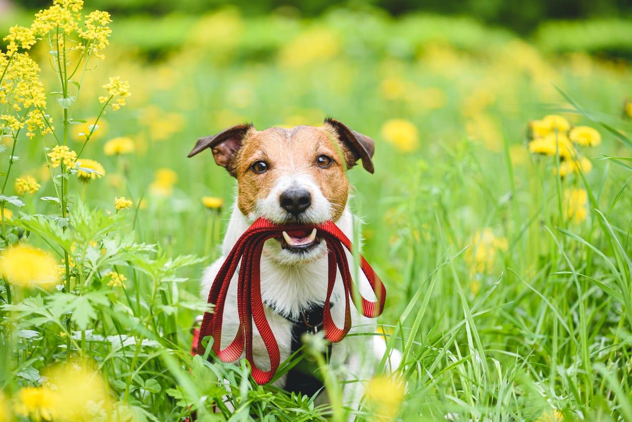 chien avec une laisse dans la bouche