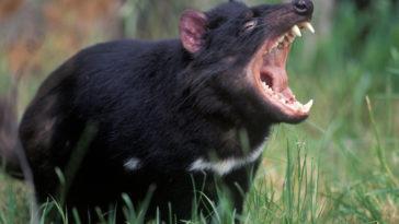 diable de Tasmanie cri