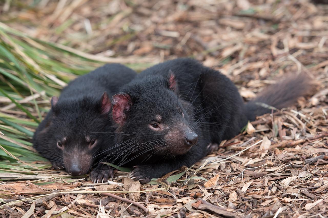 diables de Tasmanie allongés