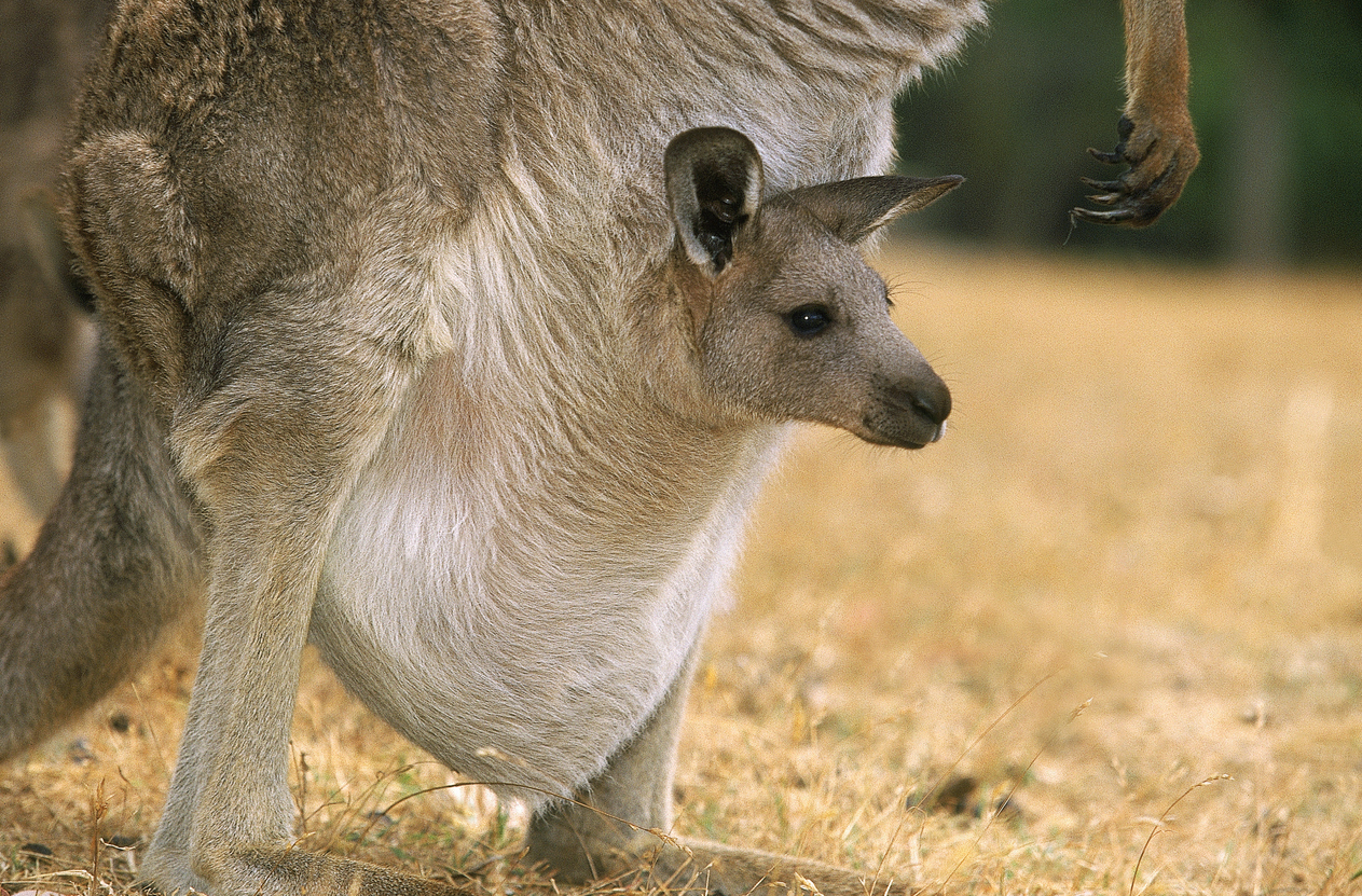 kangourou bébé