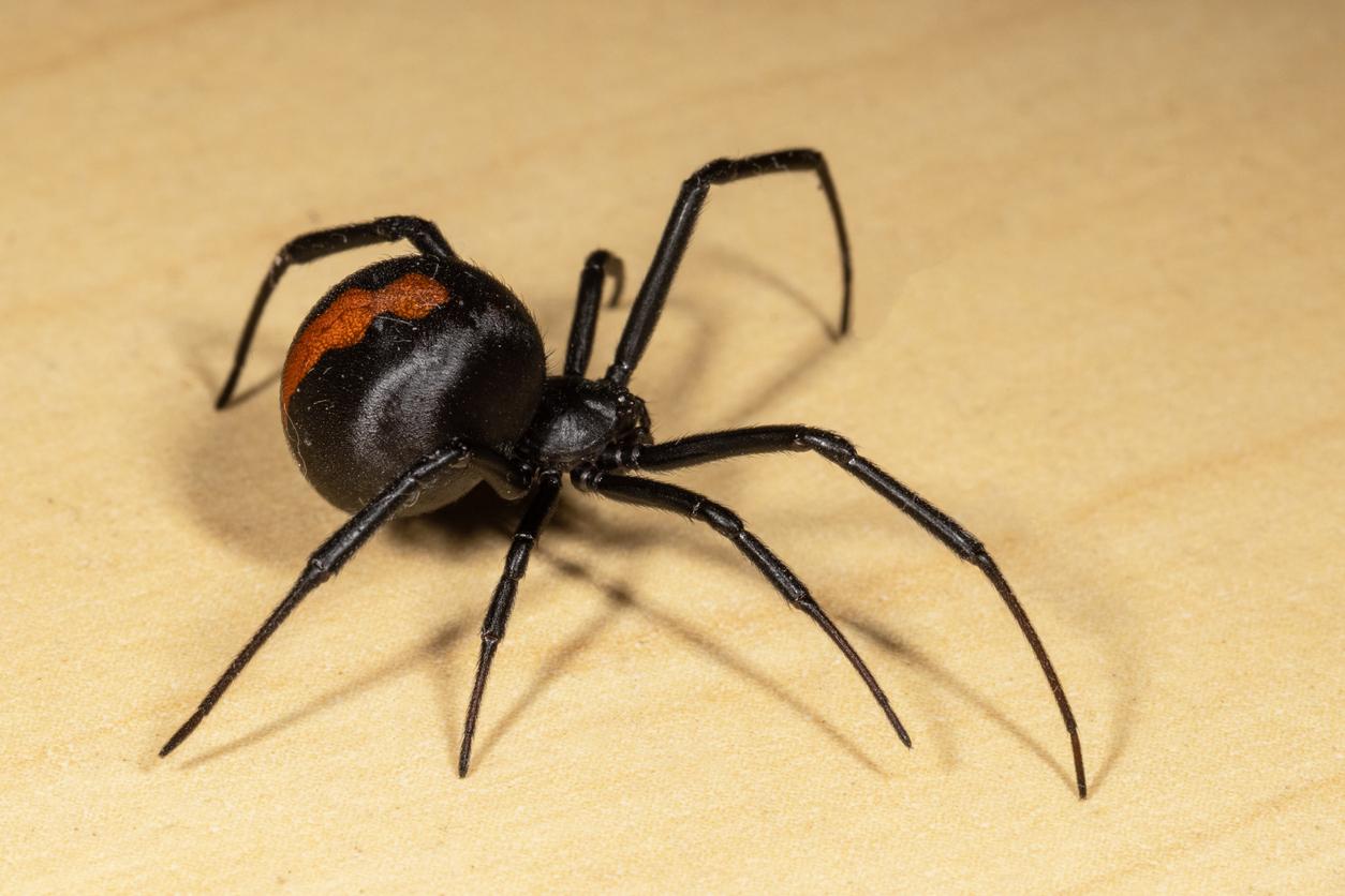 Araignée redbackspider