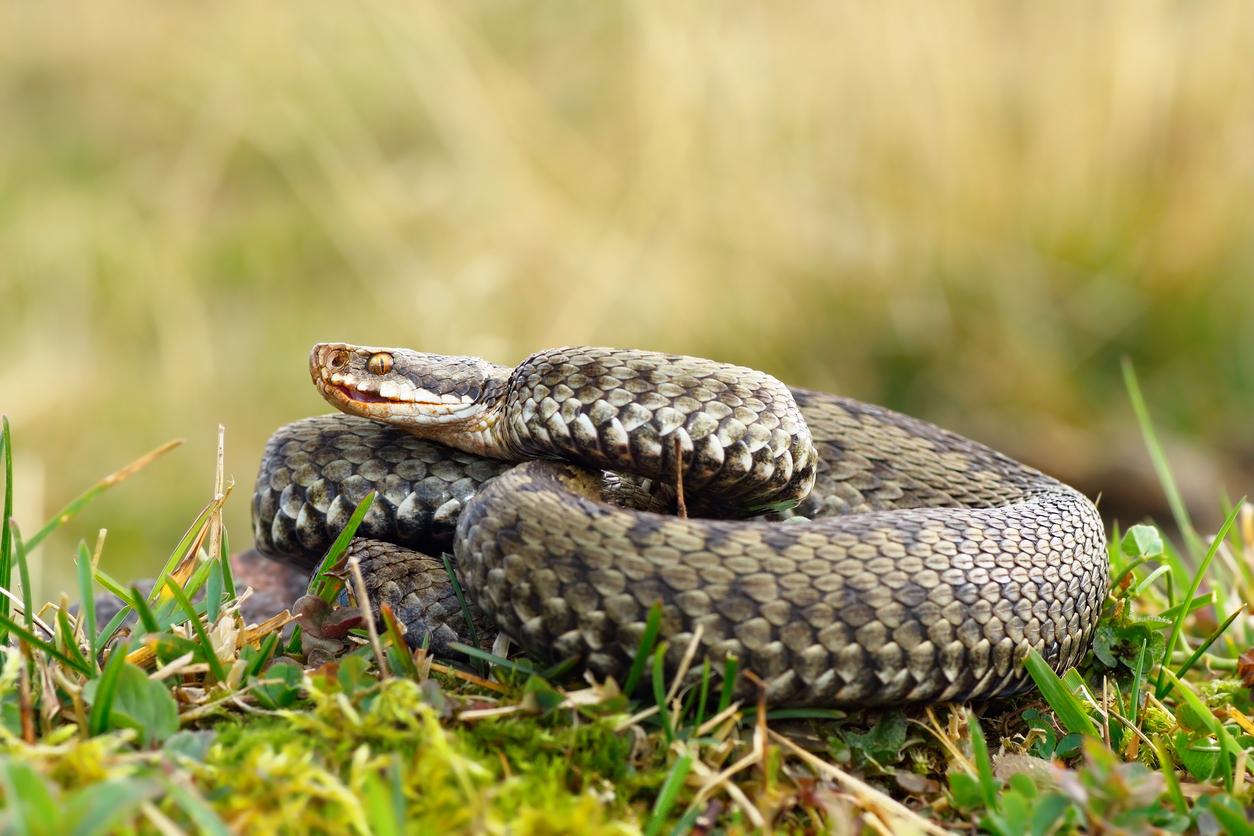 vipère serpent