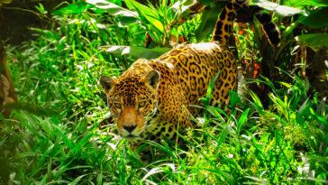 léopard dans la jungle documentaires animaliers