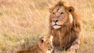 lion et lionceau dans l'herbe