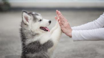 husky tape dans les mains d'un homme