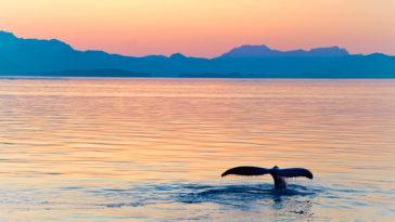 nageoire de baleine hors de l'eau soleil couchant