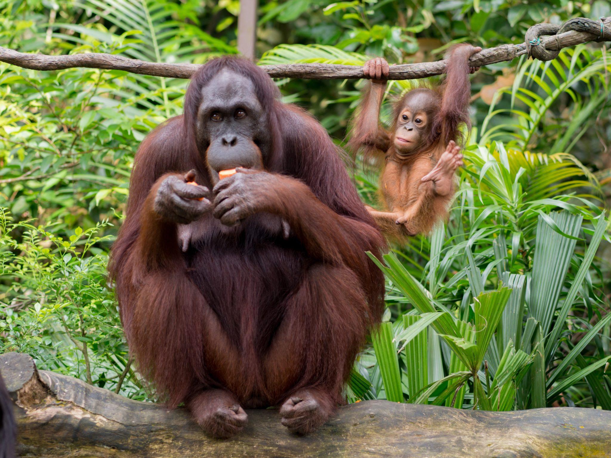 orang autan et son bébé jungle