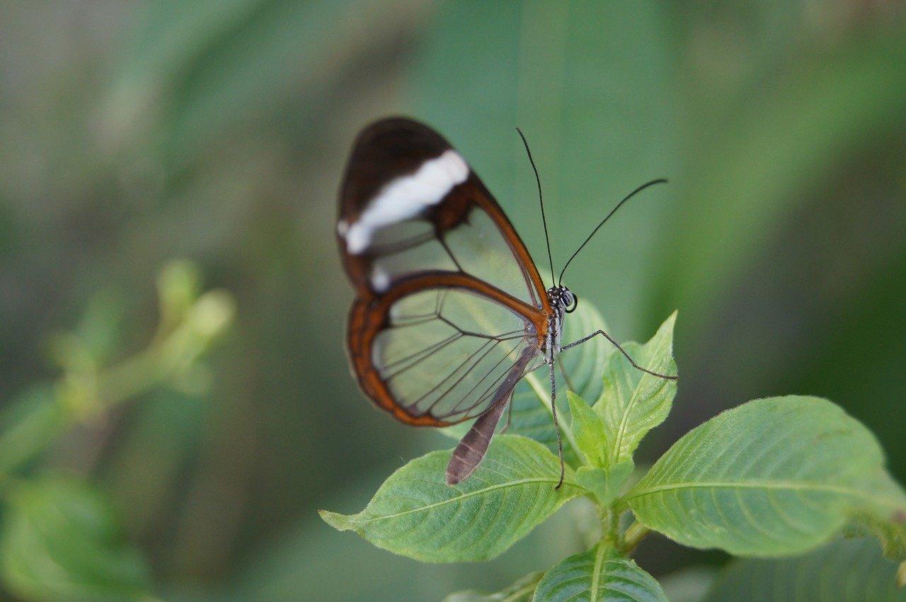 papillon greta oto