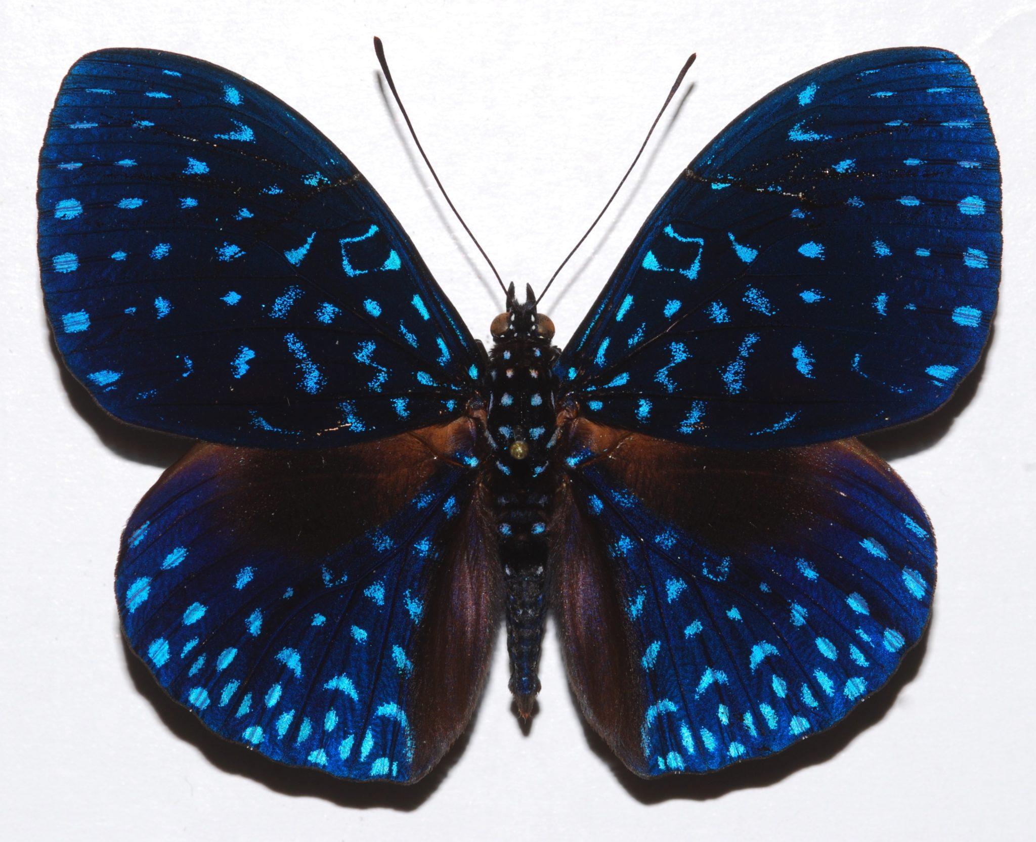 papillon hamadryas bleu