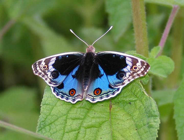 papillon junonia orithya