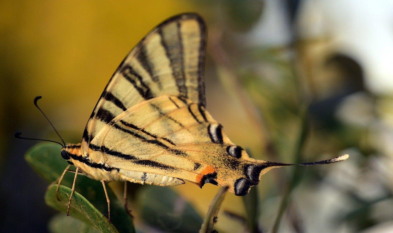 papillon rutulus