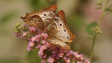 papillons sur une fleur